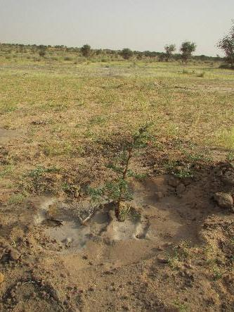 Acacia seedlings planted in the EbA South project in Mauritania. Each seedling required frequent watering to withstand the harsh environmental conditions of the Mauritanian desert.
